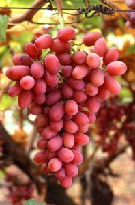 A szőlőmagolaj remek sejtvédő